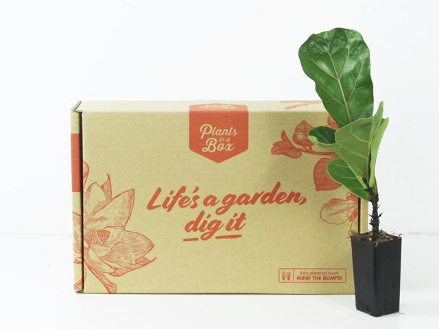 Buy Ficus Lyrata - Bambino | Plants in a Box