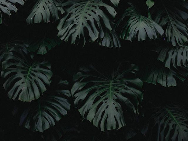 Monstera deliciosa Tauerii | Plants in a Box | Free Shipping | Indoor Plants