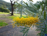Grevillea Sandra Gordon | Native Australian Garden | Yellow Flowers | Bird attracting
