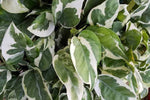 Epipremnum aureum - Pothos Snow Queen | heart shaped green leaves with splashes of white