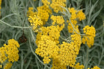 Clusters of small yellow summer flowers on the Helichrysum italicum Curry Plant