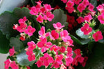 Kalanchoe Hot Pink Mini | Cool Climate Plant | Masses of hot pink flowers