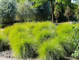 Lomandra Little Pal | Hardy native Australian grass | Great for mass planting