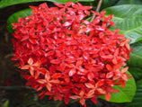 Ixora red Malay - Plants in a Box