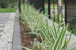 Dianella 'Silver Streak' plants used as a boarder along a fence