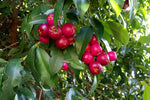 Note: Syzygium Select berries