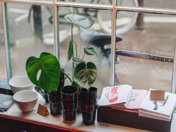 Monstera deliciosa Tauerii | Swiss Chees Plant | Rare and Popular Houseplant