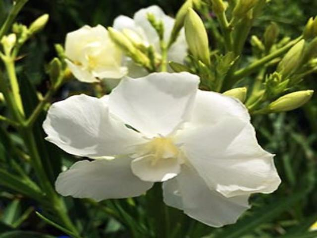 Buy Plants Online Nerium oleander Madonna Free Shipping Australia Wide!