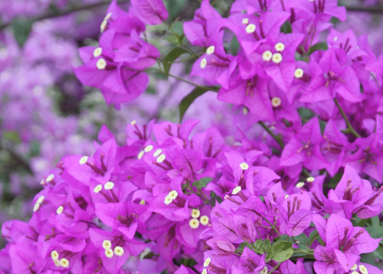 Bougainvillea Purple Gypsy 3 Pack