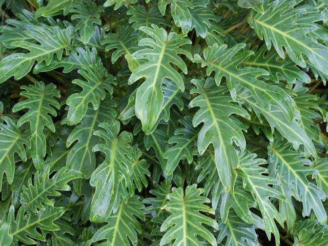 Philodendron xanadu- Great Indoor plant DIY interior design- Plants in a box free shipping online plants for your home