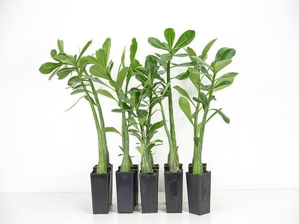 Adenium obesum white desert rose | Plants in a Box | Free Shipping Australia | Buy Plants Online