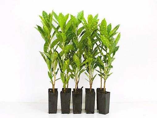 Croton Speckled plants online Melbourne free shipping