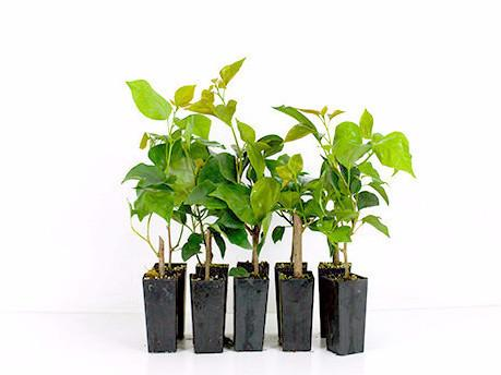 Buy Plants Online Bougainvillea Gloucester Royal Free Shipping Aust