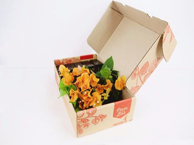 Bougainvillea Assorted 10 Pack