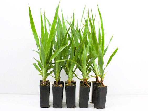 Dracaena draco - Dragon Tree Plants Online