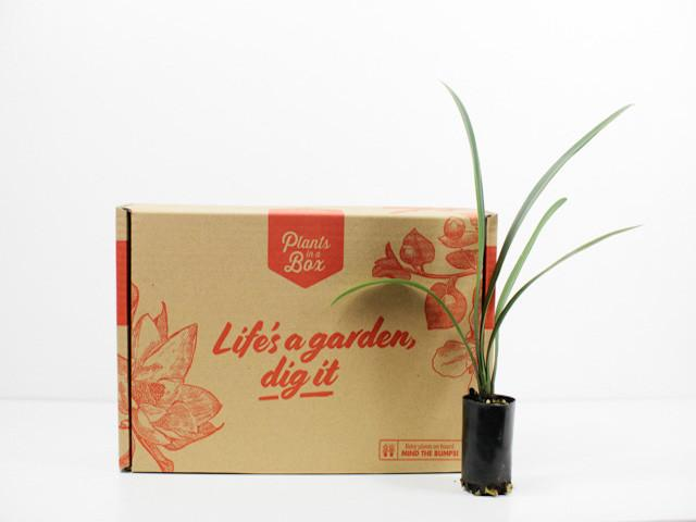 Clivia- Tropical Plants in a Box Cream Flowers