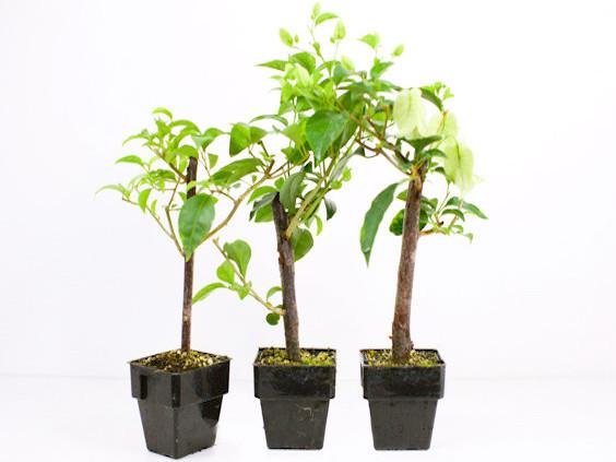Buy Tropical Plants Online | Melbourne | Sydney | Brisbane