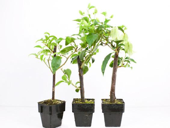 Tropical plants online Australia Wide Shipping