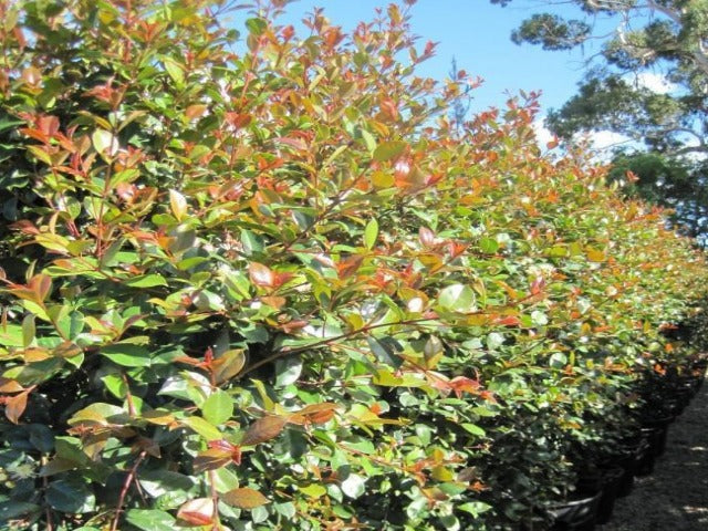 Buy bulk plants online syzygium elegance lilly pilly for Lilly pilly shrub
