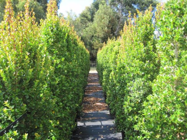 Shop hedging plants online - Fast and Free Shipping Australia Wide