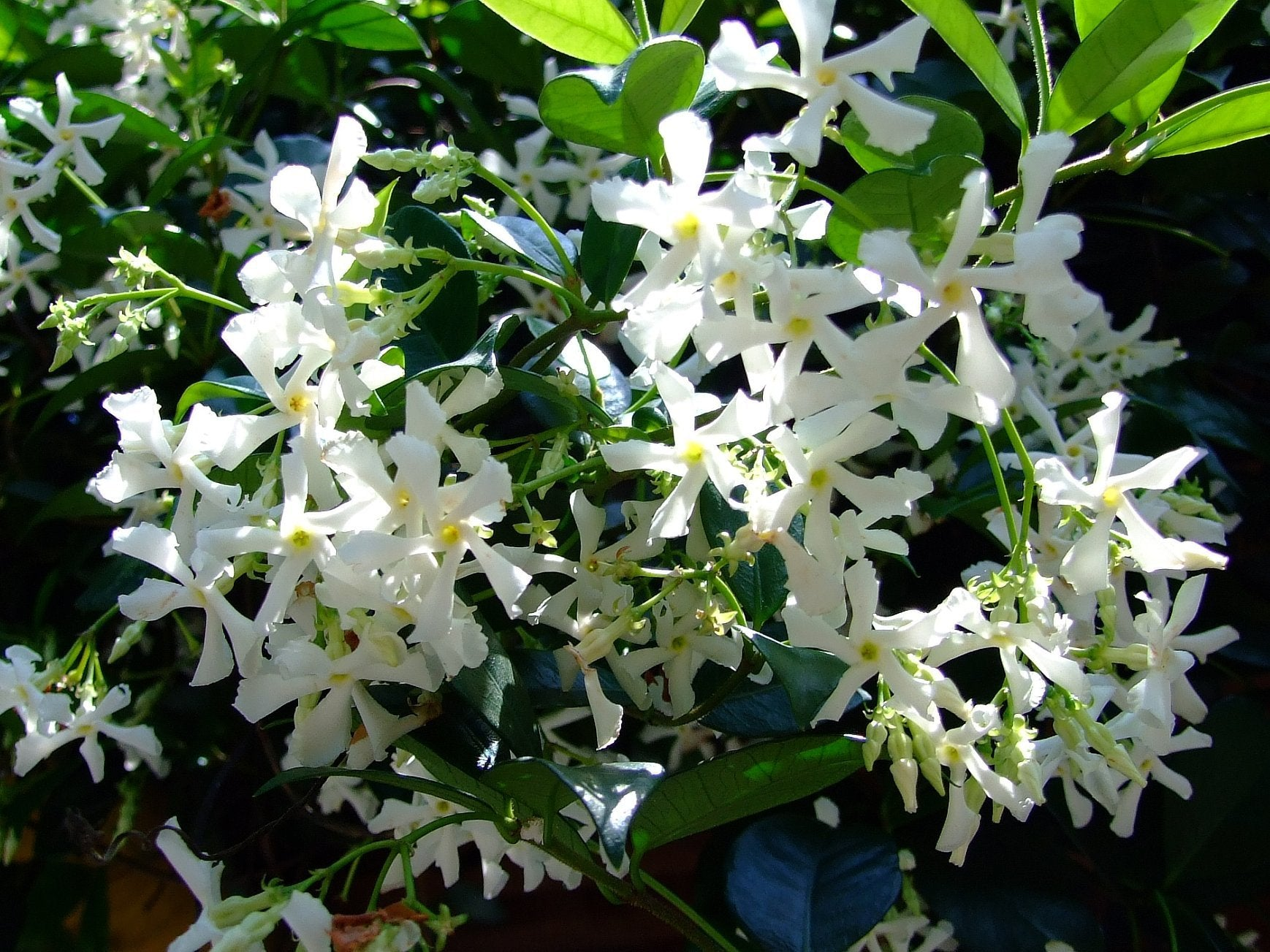Buy star Jasmine scented white flowers online