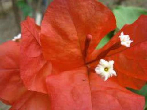 Bougainvillea Starfire | Plants in a Box | Free Shipping | Large Grower