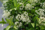 Viburnum odoratissima Plants in a Box 3 metre hedge