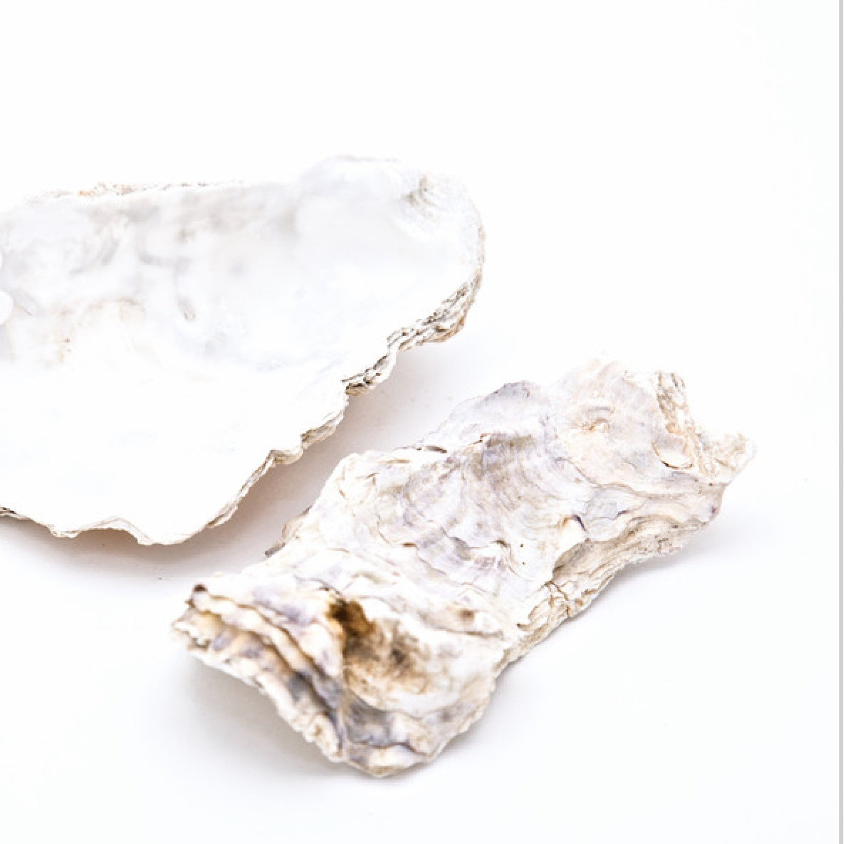 Oyster Shell Pair