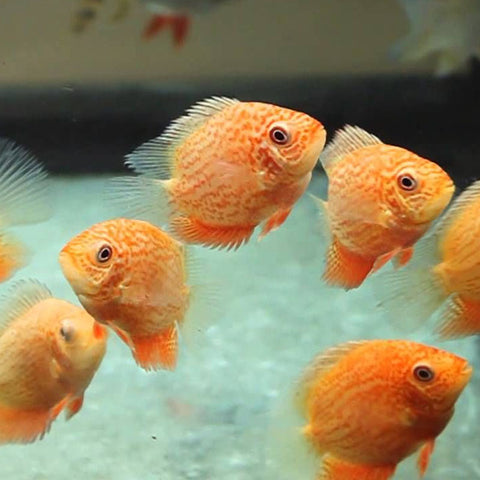 "Red Spotted Severum 2"" to 2.2 inch"