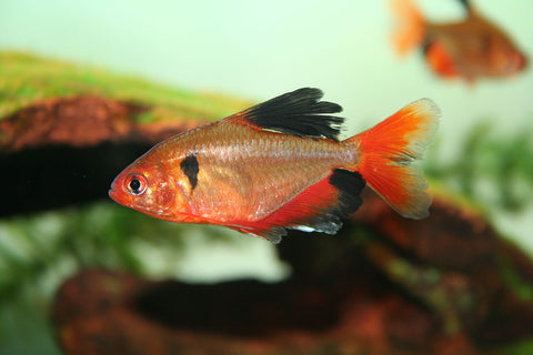 "Serpae tetra fancy bush tail (1"")"