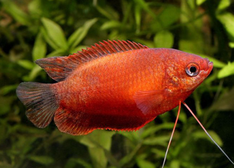 Copper Gourami