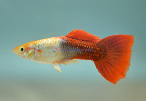 Golden Red Guppy