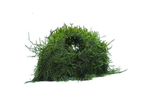 Java Moss Coconut Cave Plant, Green 1pc (java moss only) image for representation.