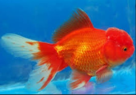 Oranda Lion Head Goldfish
