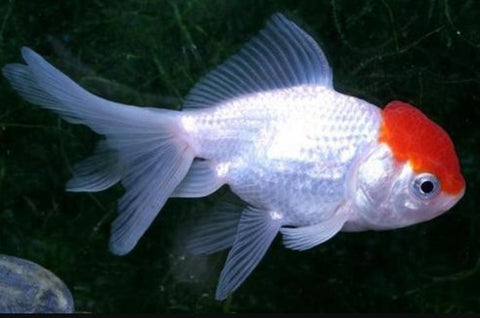 Red Cap Goldfish