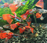 Mixed Color Male Guppies
