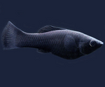 Imported  Black molly fish 1.5 to 2 inch