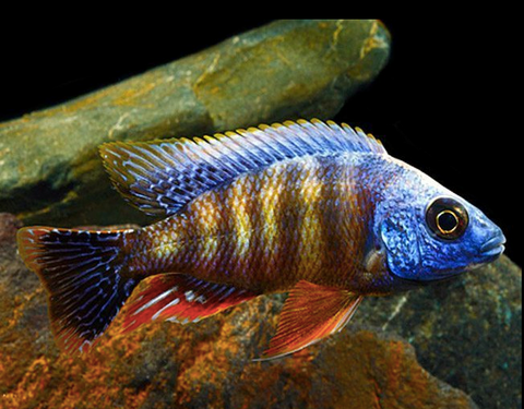 Common name: Taiwan Reef Cichlid,. Scientific name: Protomelas sp. Steveni Taiwan. Average Adult Fish Size: 15cm / 6Inches (can grow slightly larger).