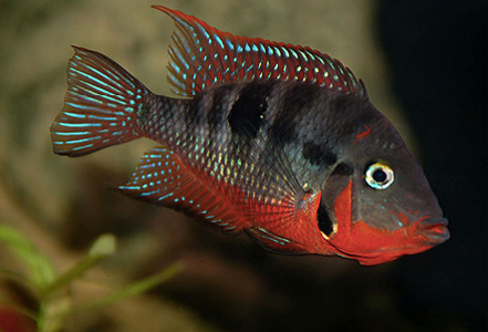 "firemouth cichlid 4.5 to 5"" inch"