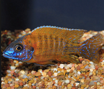 "Peacock Cichlids Electric Blue Hap 2.5"" - 3"" inch"