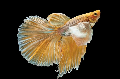 Exclusive gold Betta Fish