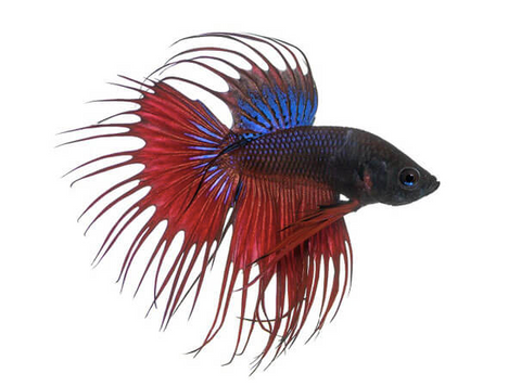 Crowntail Beeta Fish