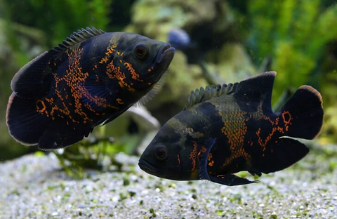 "Oscar Fish  4""-5"" Inch Size ( copper)"
