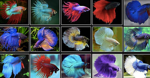 Beeta Fish Dual  color
