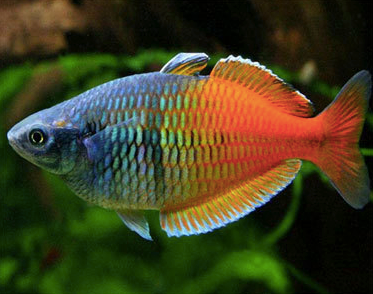 Boeseman's rainbowfish 2 tp 2.3 inch
