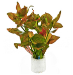 "Ludwigia atlantis "" dark orange"""