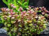 "MINI SUPER RED LUDWIGIA (LUDWIGIA SP. ""MINI SUPER RED"")"