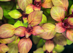 MINI  RED LUDWIGIA