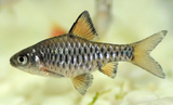 Checkerboard Barb