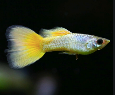 Yellow Platinum Guppy